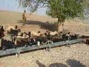 水場に集まる羊の群れ