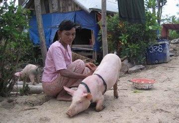 すくすくと順調に育っている豚