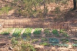 サブグループが育てた野菜の畑