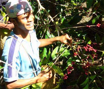 コーヒー豆を収穫する組合員.jpg