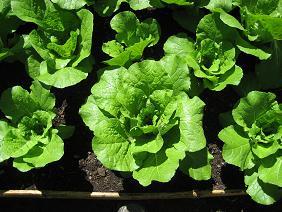 順調に育った野菜