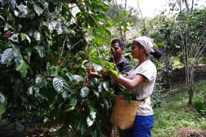 コーヒーの実を収穫する生産者