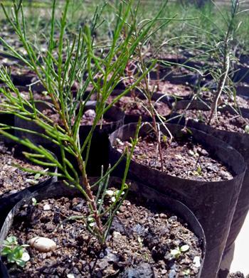 エルメラ県レテフォホ郡ハウプ村の苗床にあるシェードツリー、種植え後約6ヵ月の様子