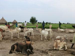 南スーダンで重宝される白い牛